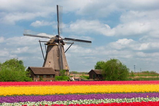 Dutch tulip field