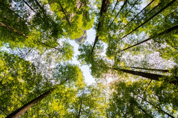 Looking upward in a forest