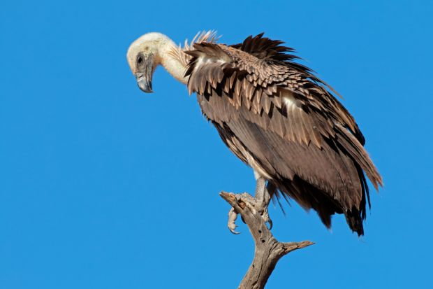 A white-backed vulture (Gyps africanus) on a branch against a blue sky, South Africa